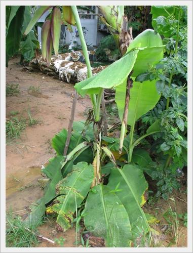 กล้วยหัวกลับ การปลูกพืชตีกลับ ศูนย์เรียนรู้เศรษฐกิจพอเพียงบ้านเขากลม
