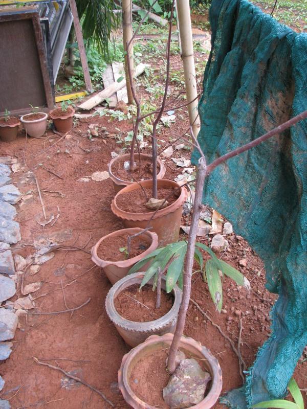 ต้นโพธิ์ หักออกมาแค่กิ่ง ไม่นานก็งอก จาก 5 ต้น ตอนนี้งอก 3
