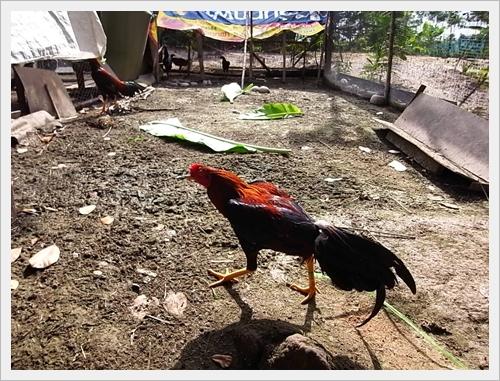 ชัช.นครศรีฯ เป็ดเทศ เป็ดไข่ ไก่บ้าน ไก่เบตง ไก่ต๊อก ไก่ชน ห่านเทา ห่านขาว นครศรีธรรมราช