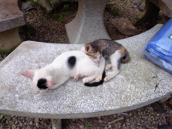 ลูกแมวนอนซบกัน