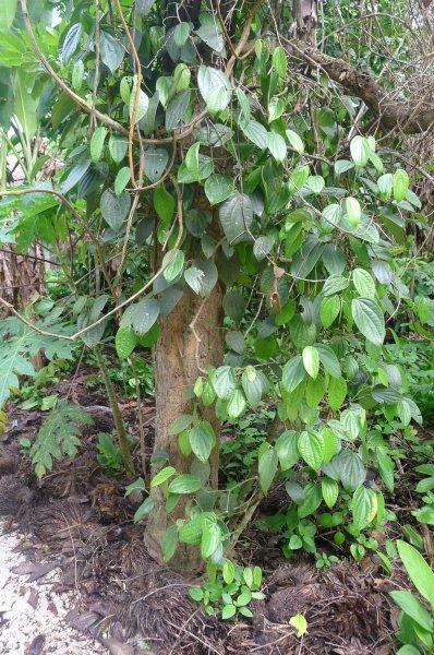 พริกไทยโค้นต้นไม้ใช้สอย